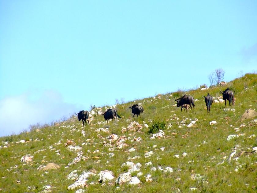 wildebeest near knysna
