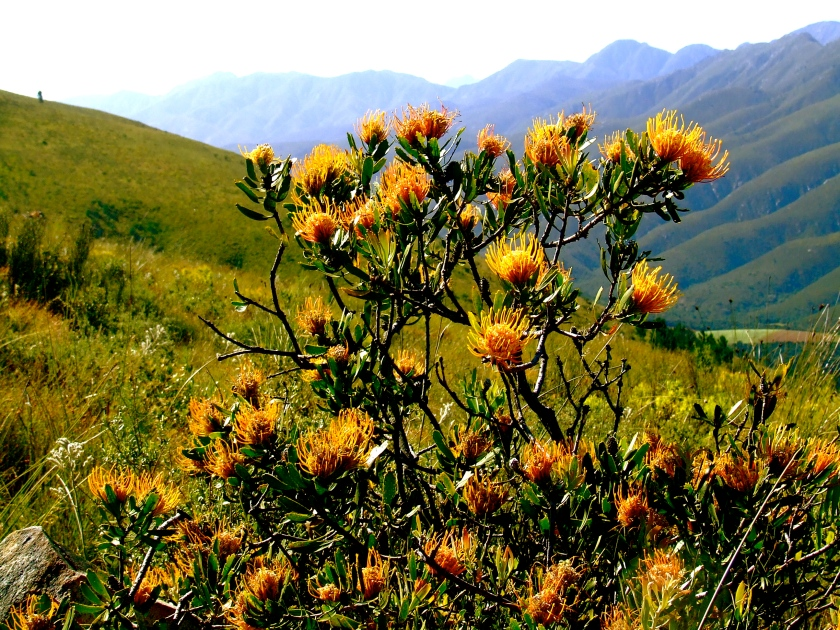 proteas in the mountians near knysna