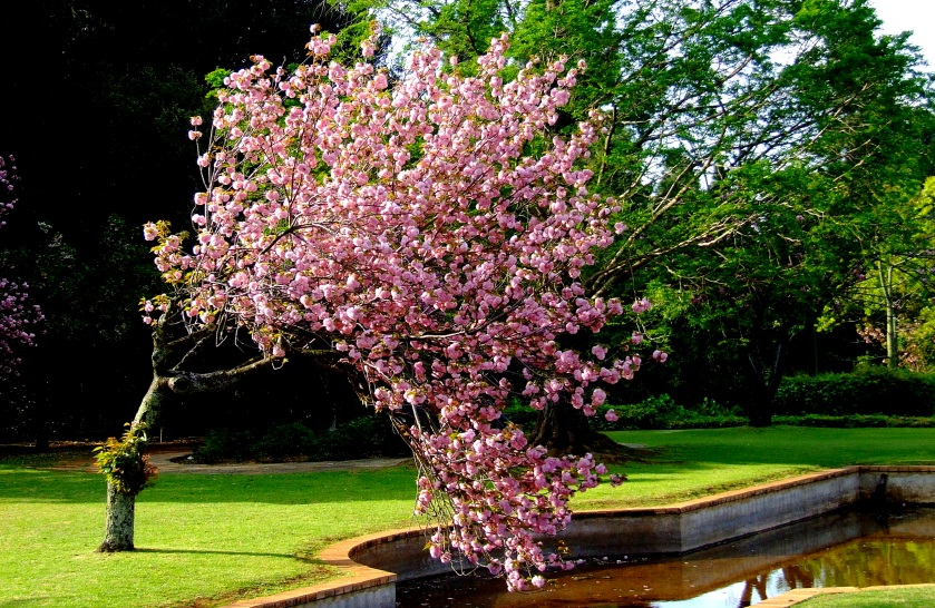 blossoms on a tree in the johannesburg botanical gardens at emmerentia
