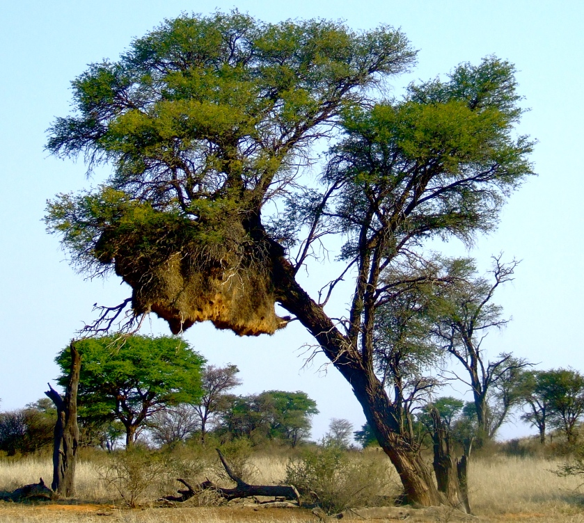 tree and bird nest in kalahari