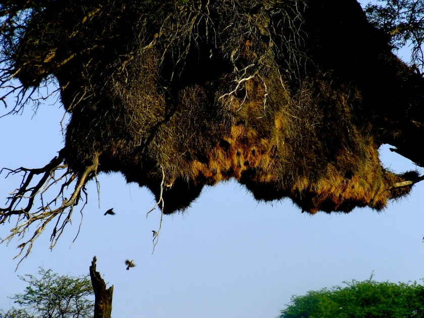 bird nest in kalahari tree