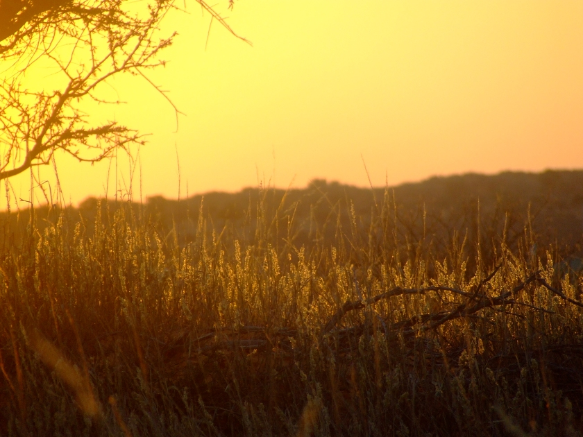 late afternoon sus casts a warm glow over some kalahari grass