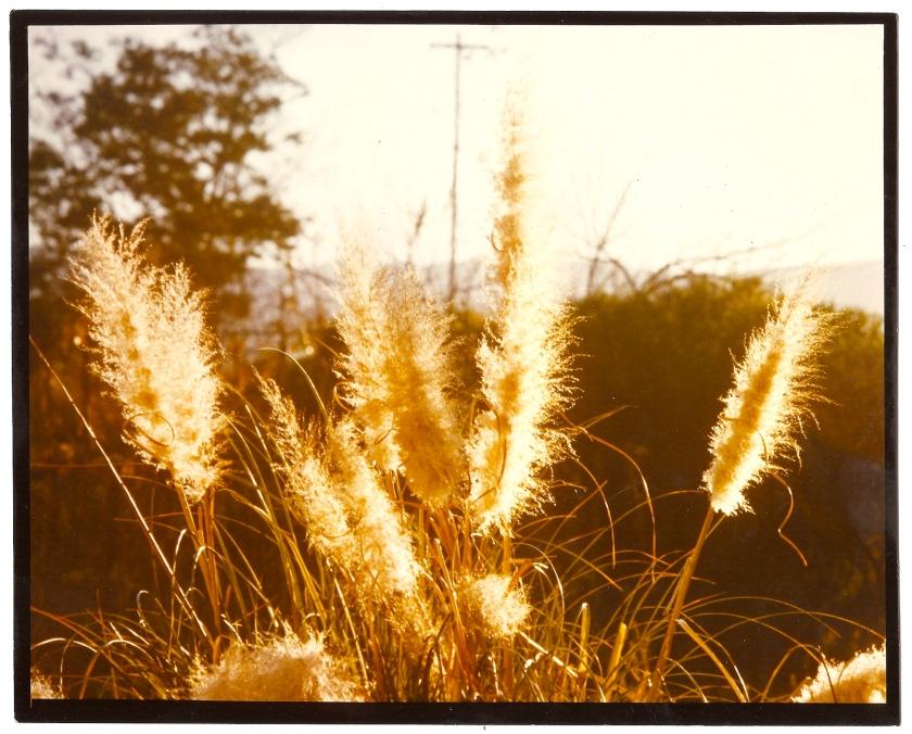 cibachrome illfochrome print pampas grass